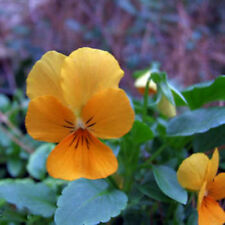 Gold Pansy Seeds, Gold Viola Seeds, Yellow Pansies, Non-Gmo Heirloom Seed, 50ct