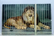 Animal African Lion Behind the Bars Postcard Old Vintage Card View Standard Post