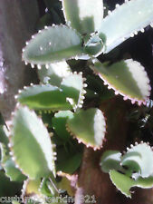 Donkey Ears, Get 2 Kalanchoe, Daigremontiana, Itulehti, Plain Succulents, rooted