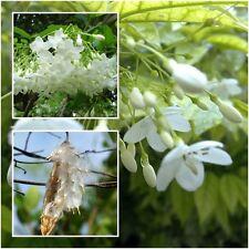 Wrightia religiosa Benth 20 Seeds, Mok Flower Tree, Very fragrant, From Thailand