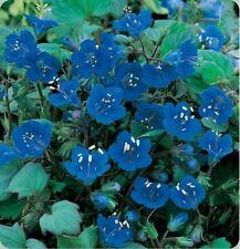 California Bluebells- 500 Seeds - - Bogo 50% off Sale