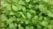 500 +Indian Mustard Seeds Sarson for Tender Green  Leaves for Salad or Cooking