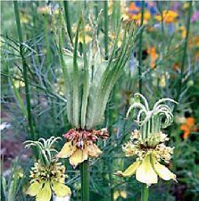 Flower - Nigella Orientalis - Transformer - 500 Seeds - Large