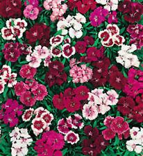 """Sweet William Flower seeds """"Wee Willie"""" 150 Seeds long flowering great cutflower"""