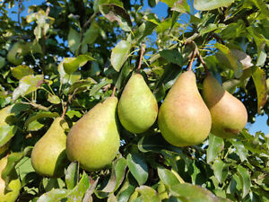 1x WILD PEAR Tree (Pyrus communis) CELL GROWN NATIVE EDIBLE, HARDY, FAST GROWING