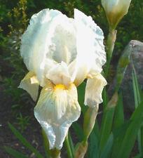Florentine Orris; Orris Root - Iris florentina Plant