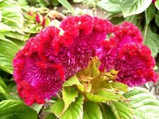 "Celosia cristata ""Toreador"" x 50 seeds. Gift with any 3 or more seeds packs."