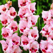 25 Gladioli Wine & Roses Soft Pink Large Flower Perennial Summer Garden Bulbs