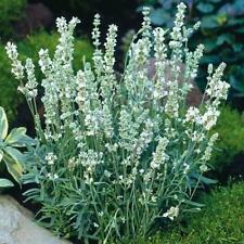 "20+ LAVENDER ""SNOW WHITE"" LAVANDULA FLOWER SEEDS, FRAGRANT SCARIFIED, 1ST YEAR"