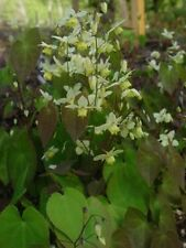 Epimedium versicolour Neosulphureum perennial plant ideal ground cover 9cm pot