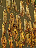 1000 Connecticut Broadleaf  Tobacco Seeds ~ Heirloom Non-GMO Nicotiana Tabacum