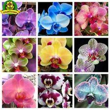 200pcs Garden Flower Bonsai Phalaenopsis Orchids Seeds