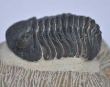2 inch Phacops Trilobite fossil From the Devonian of Morocco