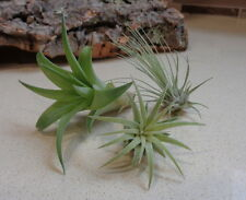 Mini Tillandsia Assortment  3 Pack FREE Shipping Air Plants