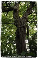 """Carpinus betulus """"Carpino' [EX. Co. Durham] 30+ Semi"""
