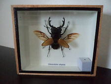 Taxidermy Real Male Odontolabis Elegans Stag Beetle Framed Display Opened Winged