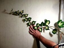 Jetzt pflanzen ! Efeu Goldheart Heckenpflanzen blühend winterhart Bodendecker