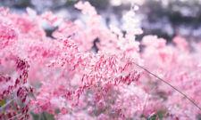 Pink Gras Garten Ziergras im Blumenbeet und Pflanzenkübeln wunderbar.