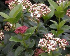 Viburnum macrophyllum EVERGREEN SHRUB Seeds!