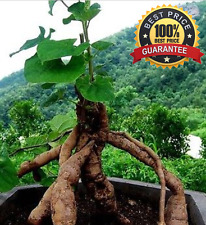 30+ Seeds Polygonum Multiflorum Fo-ti ( Ho Shou Wu ) fleeceflower vine Seeds!HOT