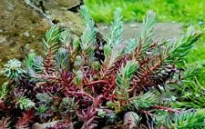 Sedum Rupestre 'Blue Carpet' -Succulent Evergreen Ground-cover Plant in 9cm Pot