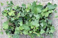 Schling- und Kletterpflanzen Efeu Hedera hibernica    5Tr. 15-20 cm   75 Stück