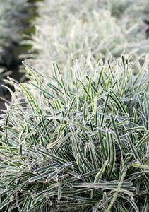 FICINIA TRUNCATA ICE CRYSTAL FROSTY SEDGE GRASS UNUSUAL CONTAINER GARDEN PLANT