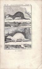 Frettchen Iltis Furet Putois Buffon um 1775 Kupferstich Druck Tier