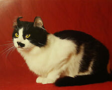 Une  page  papier  épais  en  couleur  Chat  American  Curl   19 x 23, 8  cm