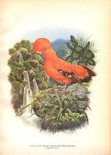 COCK OF THE ROCKS ~ Color Bird Art Print Lithograph