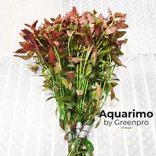 Ludwigia Ovalis 6 Bundles Tropical Freshwater Aquarium Live Plant Decoration