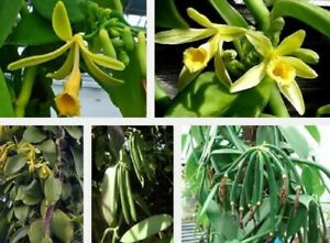 Rare Expensive Herb Vanilla Orchid /Rooted Vine Plants Buy 2 Get 1 Free Limited