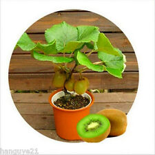 Green KIWI Fruit Tropical Fruit Seeds Delicious Healthy Fruit Nutrition 200 Seed