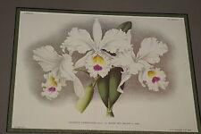 Lindenia Print Limited Edition Cattleya Gaskelliana Reine Des Belges Orchid B5