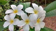 "Hawaiian Plumeria Frangipani (Lei Flower) Tropical Plant 8"" Cutting Grow Tipped"