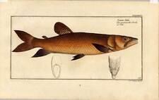 Fische-Angeln-Kupferstich Bloch 1782 SALMO ODE - Lachs - Salmon - Fliegenfischen