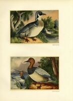 WOOD DUCKS and CANVASBACK DUCKS IN THE WILD AMERICAN GAME BIRDS WATERFOWL SWAMP