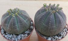 EUPHORBIA OBESA -  PAIR OF MALE AND FEMALE PLANTS  4.5cm choice succulents