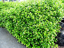 60 Laurustinus / Viburnum Tinus 15-25cm in 9cm Pots, Evergreen Hedging Plants