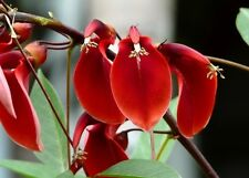 Erythrina Arborescens -  Sunshine Coral - Rare Tropical Plant Tree Seeds (5)
