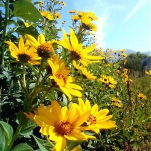 3 Jerusalem artichoke Sunroot Flower Helianthus Pflanze ESSBAR winterhart -