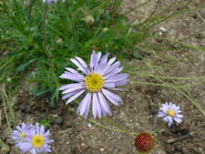 Brachyscome spathulata - Blue Daisy - 15 seeds