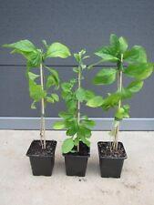 Lycium barbarum 'No 1' - rote Riesen Goji Beere - winterharte Pflanze 30-50cm