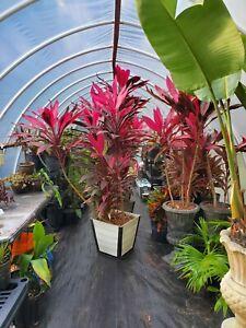 "HAWAIIAN GREEN TI LEAF PLANT *From Hawaii! 4 2-4"" Inch Long Fresh Cuttings"