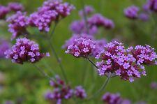 Argentinische Verbene Verbena bonariensis Patagonisches Eisenkraut 200 Samen