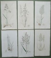 6 Antique Prints Triandria Sowerby 1st Edition Grasses Hand Coloured 1796
