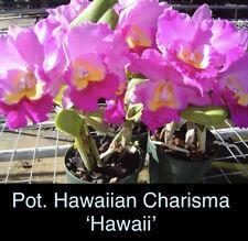 Pot. Hawaiian Charisma 'Hawaii' Young Plant Fragrant!