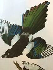 Billed Magpie Audubon Bird Print Picture Plate Poster
