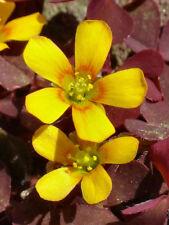 5 x Oxalis corniculata var. atropurpurea graines.