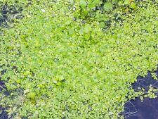 100% All Natural Duckweed 1lb